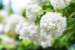 Bloemen van Viburnum-opulus Sterilis Royalty-vrije Stock Afbeeldingen