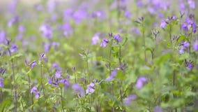Bloemen van Violet Orychophragmus, in het Park van Showa Kinen, Tokyo, Japan stock videobeelden