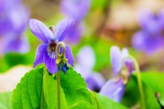 Bloemen van viooltjes in het bos onder greens, de fijne lente royalty-vrije stock afbeeldingen