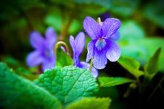 Bloemen van viooltjes in het bos onder greens, de fijne lente royalty-vrije stock fotografie