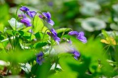 Bloemen van viooltjes in het bos onder greens, de fijne lente royalty-vrije stock foto's