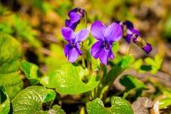 Bloemen van viooltjes in het bos op de duidelijke, zonnige lente day_ royalty-vrije stock afbeeldingen