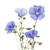 Bloemen van vlas Royalty-vrije Stock Afbeelding