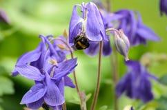 Bloemen van vulgaris Europese akelei van Aquilegia, Gemeenschappelijke akelei, de nachtmuts van de Oma, de bonnet van de Oma royalty-vrije stock foto