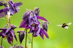 Bloemen van vulgaris Europese akelei van Aquilegia, Gemeenschappelijke akelei, de nachtmuts van de Oma, de bonnet van de Oma royalty-vrije stock afbeeldingen