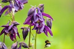 Bloemen van vulgaris Europese akelei van Aquilegia, Gemeenschappelijke akelei, de nachtmuts van de Oma, de bonnet van de Oma royalty-vrije stock afbeelding