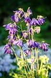 Bloemen van vulgaris Europese akelei van Aquilegia, Gemeenschappelijke akelei, de nachtmuts van de Oma, de bonnet van de Oma stock afbeeldingen