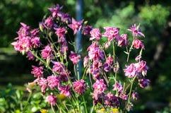 Bloemen van vulgaris Europese akelei van Aquilegia, Gemeenschappelijke akelei, de nachtmuts van de Oma, de bonnet van de Oma stock foto