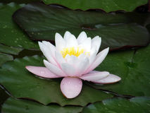 Bloemen van waterlelies. Stock Foto's