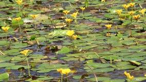 Bloemen van waterlelies op het water stock video