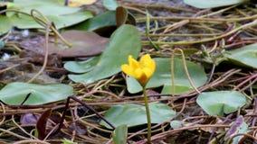 Bloemen van waterlelies op het water stock footage