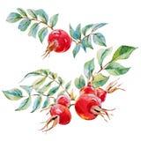 Bloemen van waterverf de vectordogrose royalty-vrije illustratie
