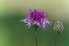 Bloemen van Westelijk Siberië Stock Fotografie