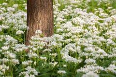 Bloemen van wild knoflook Stock Afbeeldingen