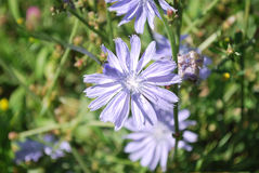 Bloemen van wild witlof Stock Afbeeldingen