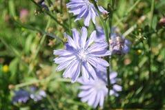 Bloemen van wild witlof Royalty-vrije Stock Afbeeldingen