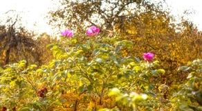 Bloemen van wilde roze struik in de herfstpark Royalty-vrije Stock Afbeeldingen