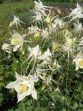 Bloemen van witte aquilegia in de de lentetuin Het tuinieren Stock Fotografie