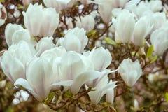Bloemen van witte magnolia royalty-vrije stock foto