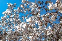 Bloemen van witte magnolia tegen de blauwe hemel En lente die bloeien de bloeien royalty-vrije stock afbeeldingen