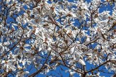 Bloemen van witte magnolia tegen de blauwe hemel En lente die bloeien de bloeien royalty-vrije stock fotografie