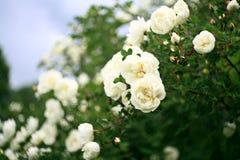 Bloemen van witte rozen, zacht effect Stock Afbeeldingen