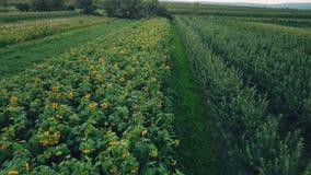 Bloemen van zonnebloem stock video