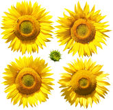 Bloemen van zonnebloem, die op wit worden geïsoleerds Royalty-vrije Stock Afbeelding