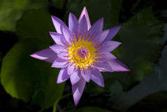 Bloemen Violette waterlelie Stock Afbeeldingen