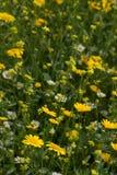 Bloemen in Weide Stock Afbeelding