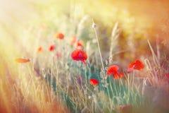 Bloemen in weide - papaverbloemen Stock Foto's