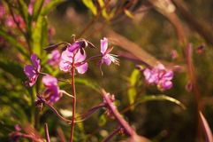 Bloemen wilg-thee op de achtergrond van het gebied royalty-vrije stock foto's