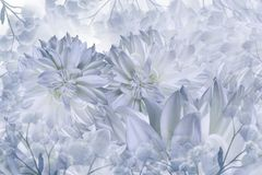 Bloemen wit-blauwe achtergrond Het close-up van dahlia'sbloemen op een witte achtergrond Bloemblaadjes van Bloemen royalty-vrije stock afbeelding