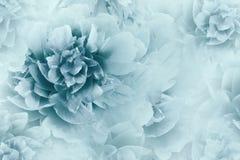 Bloemen wit-blauwe achtergrond Het close-up van pioenenbloemen op een transparante halftone lichtblauwe achtergrond De kaart van  stock fotografie