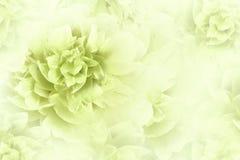 Bloemen wit-groene achtergrond Het close-up van pioenenbloemen op een transparante halftone lichtrode achtergrond De kaart van de royalty-vrije stock afbeeldingen