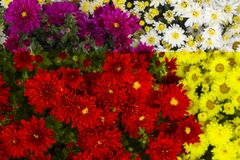 Bloemen Wit nam bloem toe Wit met dauw Stock Afbeelding