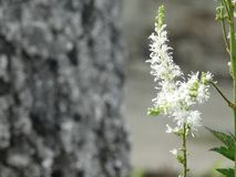 Bloemen witte astilba Stock Afbeelding