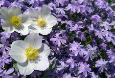 Bloemenachtergrond in de tuin royalty-vrije stock afbeelding