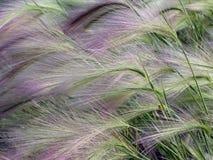 Bloemenachtergrond, Hordeum-jubatum, met lieveheersbeestje Stock Fotografie