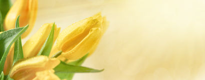 Bloemenachtergrond met gele tulpenbloemen Royalty-vrije Stock Afbeeldingen
