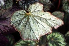 Bloemenachtergrond met gevormde bladeren van heuchera royalty-vrije stock fotografie