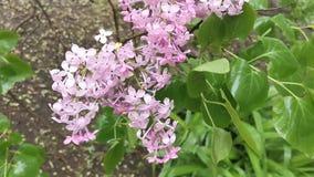 Bloemenachtergrond met lilac takken stock video