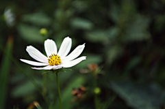 Bloemenachtergrond met witte bloem Stock Afbeeldingen