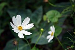 Bloemenachtergrond met witte bloem Stock Foto