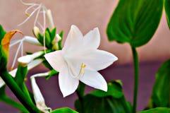 Bloemenachtergrond met witte bloemen Stock Afbeelding