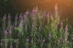 Bloemenachtergrond op weide bij zonsondergang stock fotografie