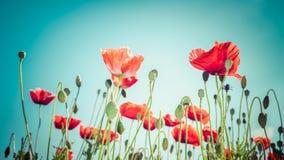 Bloemenachtergrond in uitstekende stijl voor groetkaart Wilde papaver Stock Foto's