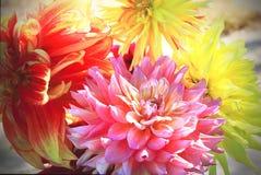 Bloemenachtergrond van de herfstdahlia's Royalty-vrije Stock Foto