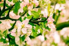 Bloemenappel Royalty-vrije Stock Afbeeldingen