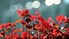 Bloemenbegonia stock videobeelden